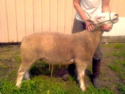 TEXEL REFERENCE SIRE