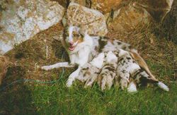 Gemm and her puppies