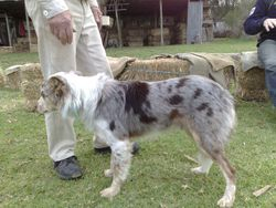 Rolly (Rasta's father) a great sheep dog