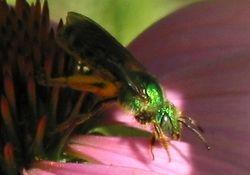 Green Bee, profile