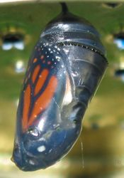 Monarch Pupa
