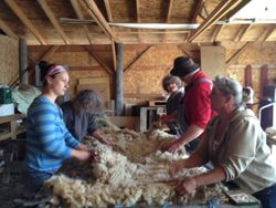 Shearing Day Lancashire Farm 2014