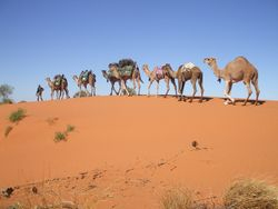 Camels on the Dunes