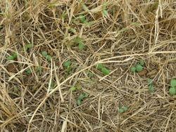 Clover Seedlings