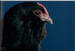 Black hen close-up