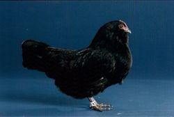 Black d'Anver hen
