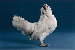 Sel-Blue hen