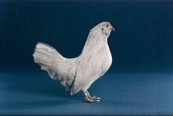 Self-Blue hen