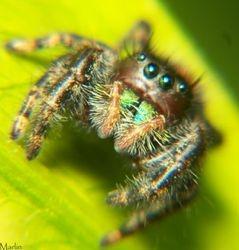 Cutie Jumping Spider
