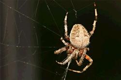Glasshouse spider