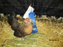 2014 1st Place Pullet Fort Worth Stock Show-Youth