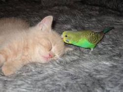 Parakeet Kissing Cat