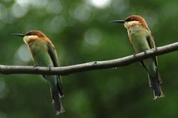Chestnut Headed Bee Eater/ Berek-berek Tadah Senja