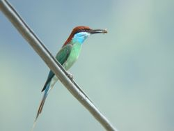 Blue Throated Bee Eater/ Berek-berek Tadah Hujan