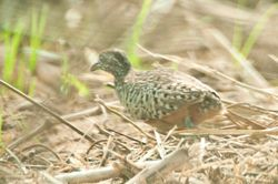Barred Buttonquails