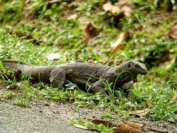 Clouded Monitor Lizard/Biawak
