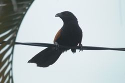 Greater Coucal/ But-But