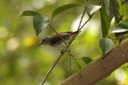 Scarlet Backed Flowerpecker/ Sepah Puteri Merah