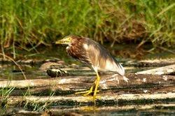Chinese Pond Heron/Pucong Cina