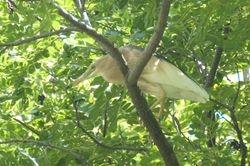 Javan Pond Heron/Pucong
