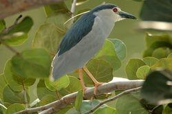 Black Crowned Night Heron/Pucong Malam