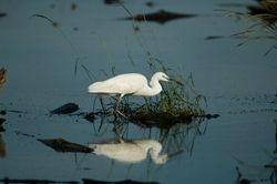 Little Egret/