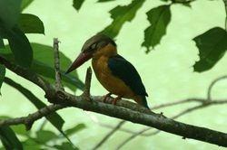 Stork Billed Kingfisher/ Pekaka Paruh Pendek