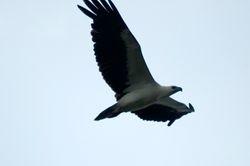 White Bellied Sea Eagle/Helang Siput