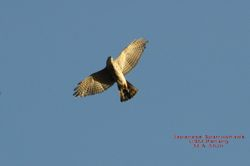 Japanese Sparrowhawk/ Sewah Jepun