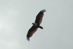 Brahminy Kite/ Lang Merah