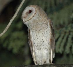 Barn Owl/ Jampuk Kubur