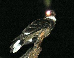 Burung Tukang