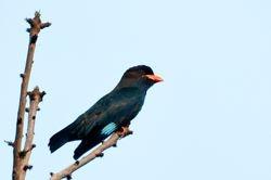 Dollarbird/ Tiong Batu