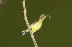 Olive Backed Sunbird/ Kelicap Bukit