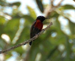 Purple Throated Sunbird/ Kelicap Nibong
