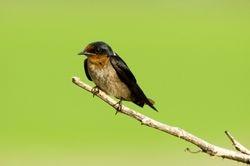 House Swallow/ Sualo batu