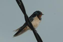 Barn Swallow/ Sualo Api
