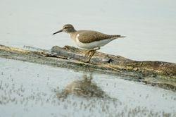 Common Sandpiper/ Kedidi Pasir