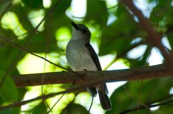 Mangrove Whistler/ Siul Belukar