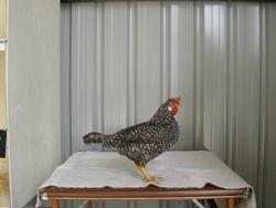 Cuckoo bantam pullet