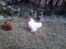 white pekin rooster