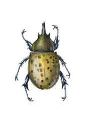Eastern Hercules Beetle