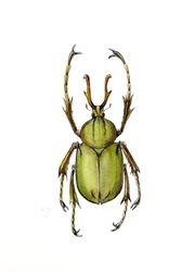 Dicranocephalus Wallichi