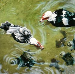 Muscovy ducks, catfish and turtles all swimming together in a peaceful pond.