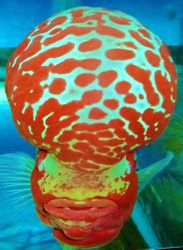 The Champion Winner Of The Flowerhorn Competition In Vietnam Sept/2/2012 !