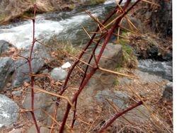 Thorn & Stream