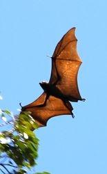 Botanical Garden Bat in Kandy