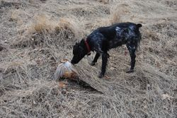 Elsa retrieves her downed pheasant, L&P Burson, March 2011