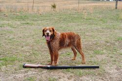 Sage guards Lewi's gun, while he loads the other dogs, L7P Burson, March 2011