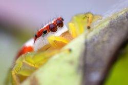 Female Epocilla Calcarata